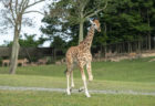 You've Got to See the Adorable New Baby Giraffe at Six Flags Wild Safari