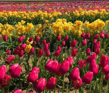 holland ridge tulip farm