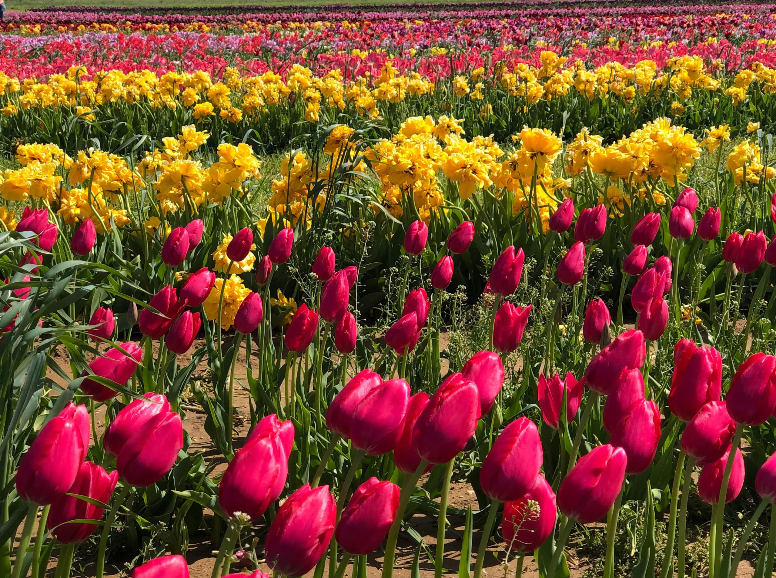 holland ridge tulip farm